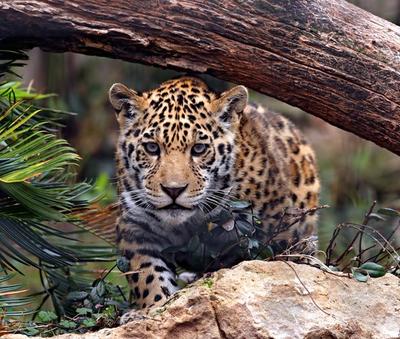 Le jaguar de la forêt tropicale de Heredia, Costa Rica